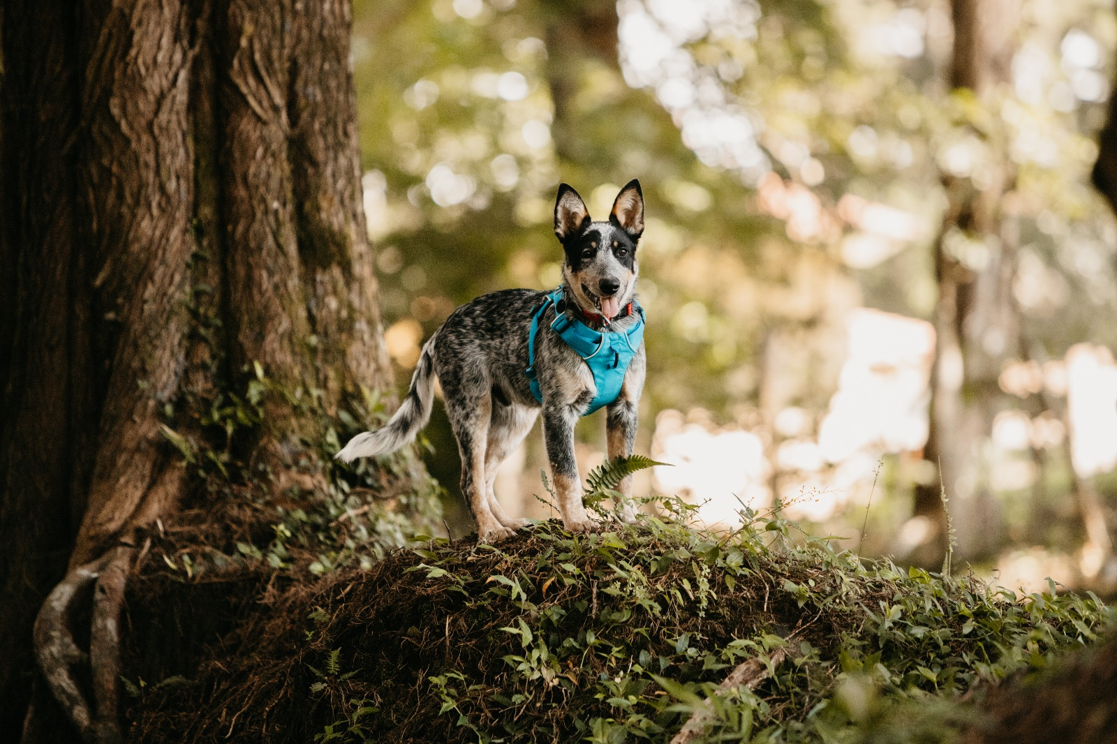 staring dog in woods