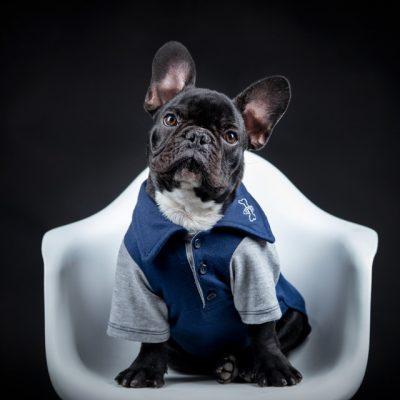 Sesión mascotas Bulldog frances sentado en silla blanca