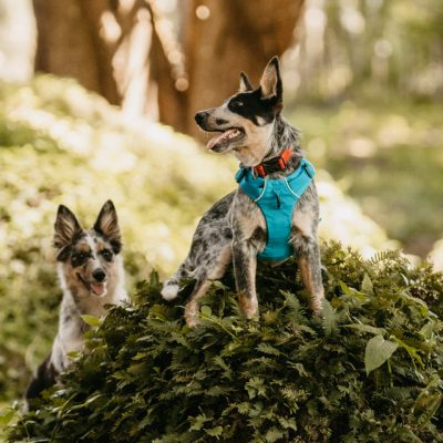 sesion de mascotas blue heeler bordero collie