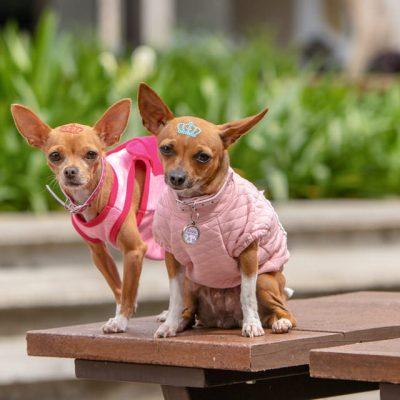 sesion mascota chihuahuas vestidos