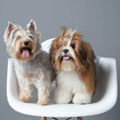Sesion mascotas en estudio perros en silla blanca